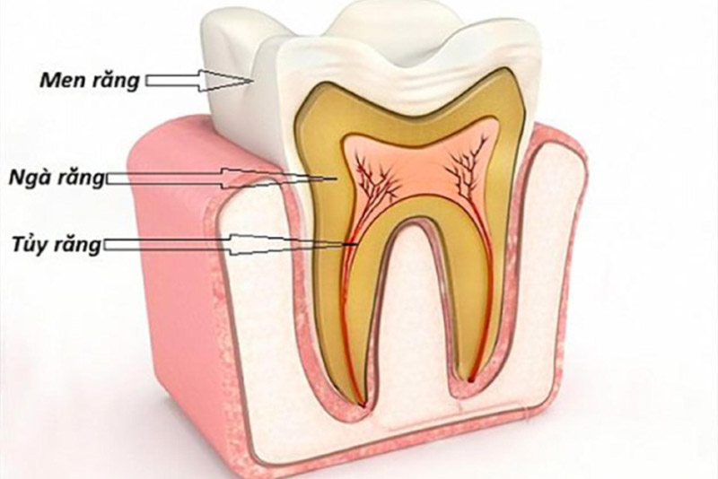 Phần men răng: đây là lớp ngoài cùng của răng giúp bao bọc và bảo vệ răng. Men răng thường có màu trắng trong hoặc trắng ngà với độ dày từ 1-2mm. Men răng là phần mô có độ cứng nhất. Men răng ngoài nhiệm vụ bảo vệ răng, đây còn là thành phần giúp tạo màu cho răng và chịu lực khi răng thực hiện nghiền thức ăn. Ngà răng: Là lớp phía trong của men răng. Ngà răng có màu vàng nhạt và chiếm tỷ trọng lớn nhất của răng người. Trong ngà răng có rất nhiều ống nhỏ, giúp tạo cảm giác cho răng khi bạn sử dụng các thực phẩm nóng hoặc lạnh. Tủy răng: Đây là phần nằm trong cùng. Tủy răng gồm một hệ thống các dây thần kinh và mạch máu. Tủy răng có chức năng tạo ngà răng, cung cấp chất dinh dưỡng và dẫn truyền các tín hiệu thần kinh từ răng tới não bộ để xử lý.