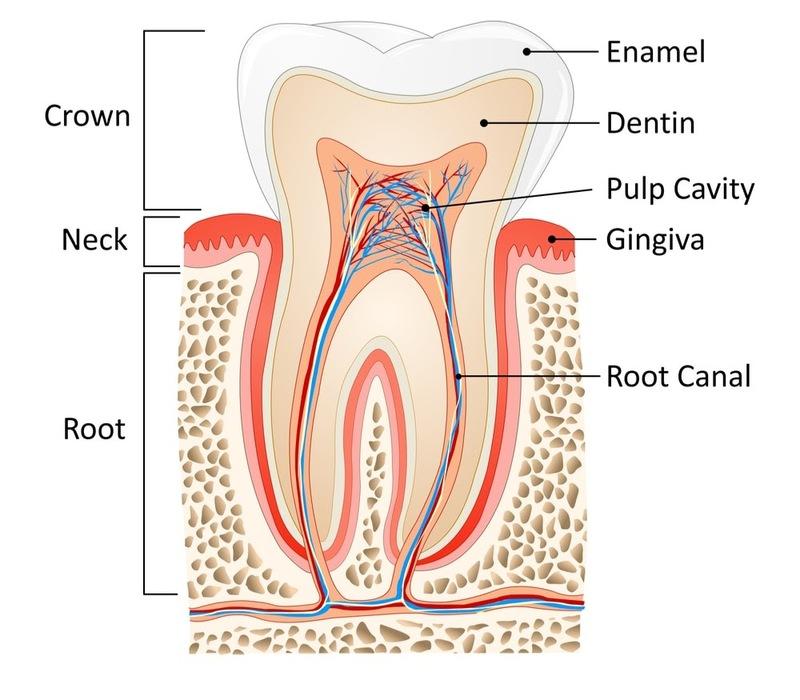 Cấu tạo răng người từ trên xuống dưới gồm 3 phần Phần thân răng: là phần nằm trên nướu mà chúng ta dễ dàng nhìn thấy và quan sát Phần cổ răng: đây là phần tiếp giáp giữa răng và nướu Phần chân răng: Phần chân răng là phần kết nối trực tiếp với các dây thần kinh và nằm ở dưới phần nướu