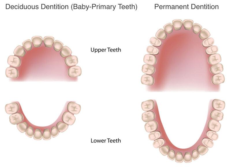 Rằng người gồm 4 nhóm được chia theo từng chức năng Nhóm răng cửa (các răng ở vị trí số 1 và 2), số lượng răng của gồm 8 chiếc chia đều cho hàm trên và hàm dưới. Răng cửa có hình dạng dẹt có phần rìa răng sắc. Đây là nhóm răng đảm bảo tính thẩm mỹ cho hàm và có chức năng cắn xé thức ăn Nhóm răng nanh (vị trí số 3), nhóm răng nanh gồm 4 chiếc, hai chiếc hàm trên, hai chiếc hàm dưới. Răng nanh nằm ở vị trí góc cung của hàm có hình dáng mũi giáo bầu. Răng nanh có đặc điểm, mũ răng dày và có độ sắc nhất định. Răng nanh có nhiệm vụ chính là kẹp và xé nhỏ thức ăn. Nhóm răng hàm nhỏ (vị trí số 4 và 5). Gồm có 4 răng hàm nhỏ cho hàm trên và 4 răng cho hàm dưới. Răng hàm nhỏ có phần mũ răng dạng lập phương với mặt cắn gồ ghề. Răng hàm nhỏ có vị trí mọc nằm giữa răng hàm và răng hàm lớn và răng nanh. Chức năng chính của răng hàm nhỏ là xé và nghiền nhỏ thức ăn. Nhóm răng hàm lớn (răng cối) là những răng nằm ở vị trí 6, 7 và 8. Răng khôn cũng được tính là một răng hàm lớn. Răng hàm gồm 6 chiếc hàm dưới và 6 chiếc hàm trên. Với mặt răng dày, và khá bằng phẳng, nhiệm vụ chính của các răng này chính là nghiền nhỏ thức ăn trước khi chuyển chúng xuống cơ quan tiêu hóa tiếp theo là dạ dày.