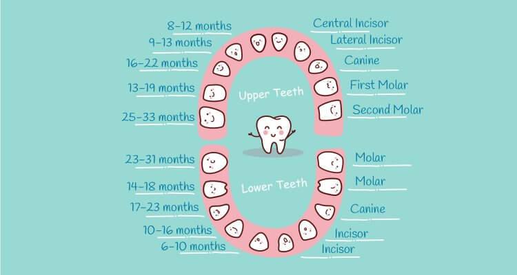 Quá trình mọc răng của trẻ được chia thành 5 giai đoạn. Kéo dài từ tháng thứ 9 tới tháng 30
